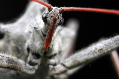 Arilus cristatus (Reduviidae)